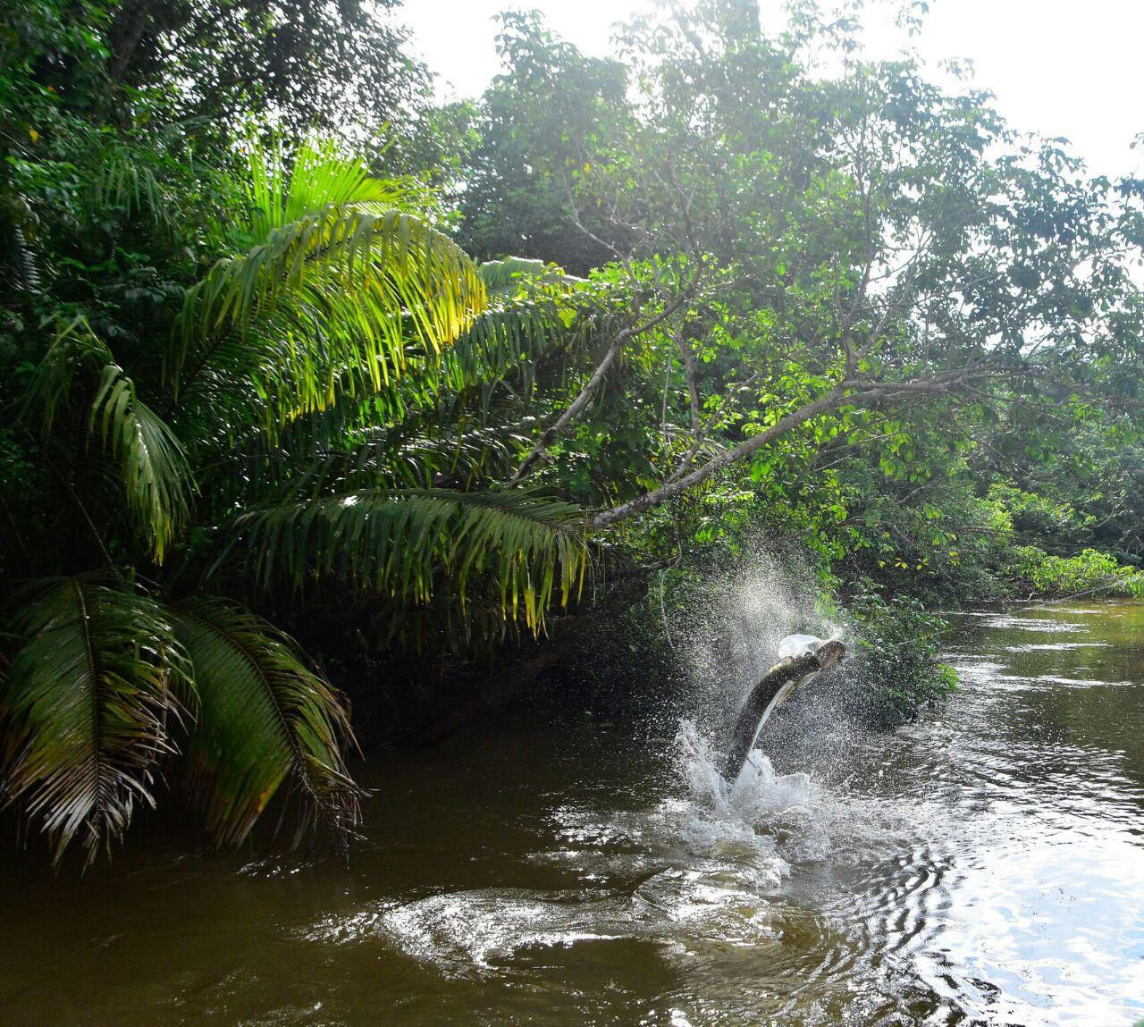 Jungle Tarpon
