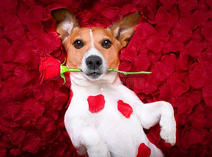valentines-roses-d-amour-de-chien-83557360.jpg