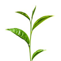 Green-Tea-Transparent.png