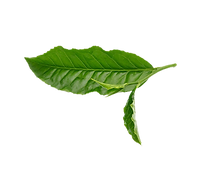 green-tea-leaf.png