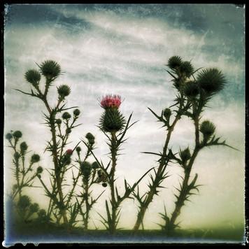 Carduus crispus......