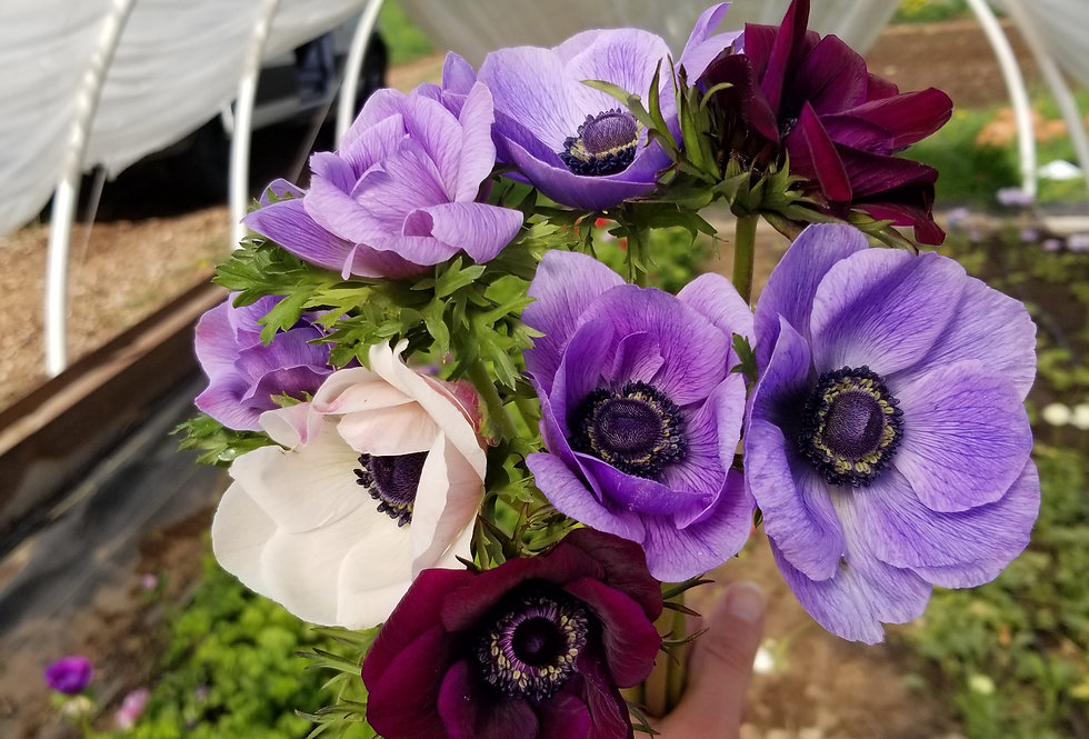 Anemone bunches