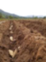 planting dahlias.jpg