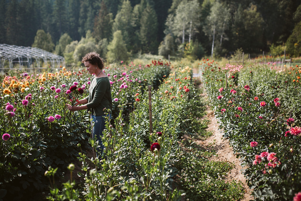 Picking dahlias