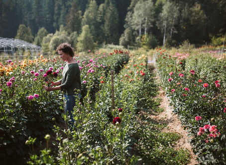 Dahlias: Harvest, Divide & Store