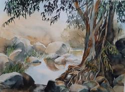 Golan journal 2020- Eucalyptus tree