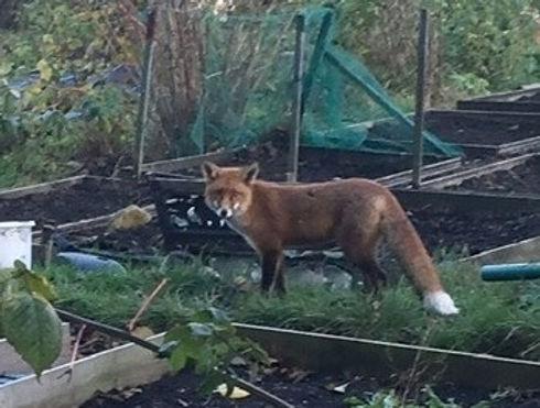 fox - Edited.jpg