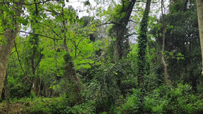 Collserola woods