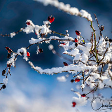 Snow Covered Rosehips