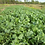 Thumbnail: Widdes Brassica Food Plot Mix 25#Bag
