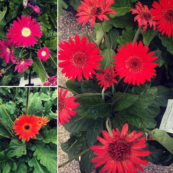 #DrakensbergDaisy #daisysfordays #OxfordLumber #aceistheplace #gardencenter