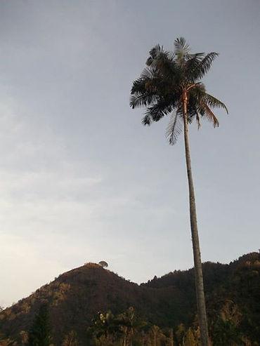 Palma de Cera