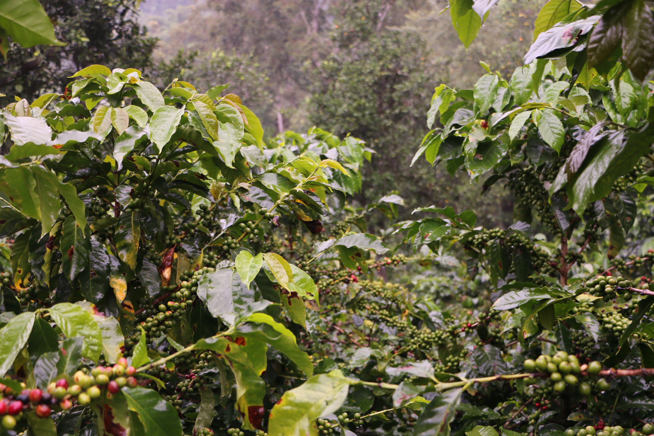 coffee farm from bogota-7