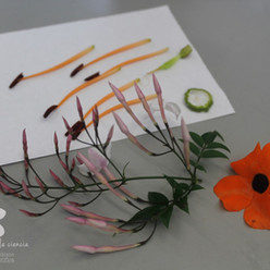 Floral dissections: study, drawing and color