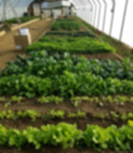 Martens greens in greenhouse.jpg