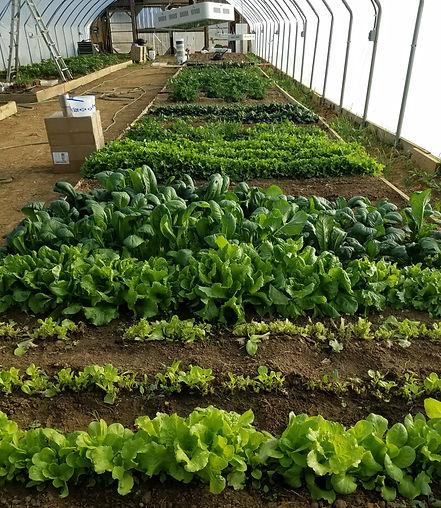 Martens greens in greenhouse.jpg