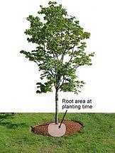 tree rootball.jpg