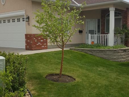 Tree of the Week: Snowbird Hawthorne
