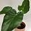 Thumbnail: Alocasia Cuculatta