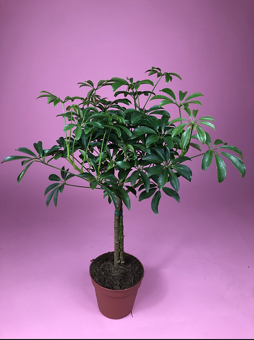 Schefflera Arboricola