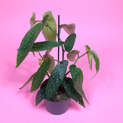 Begonia Albo Picta