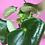 Thumbnail: Peperomia Raindrop
