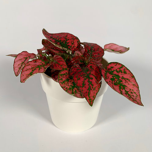 Red Hypostes