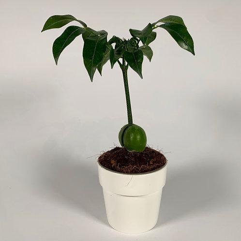 Mini Australian Chestnut