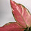 Thumbnail: Aglaonema 'Pink Lady'