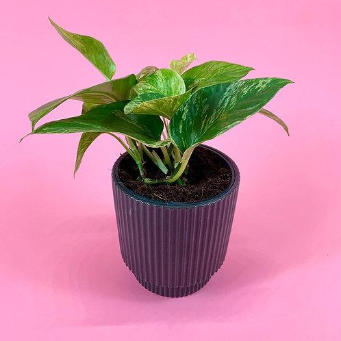 Devils Ivy & Miami Pot