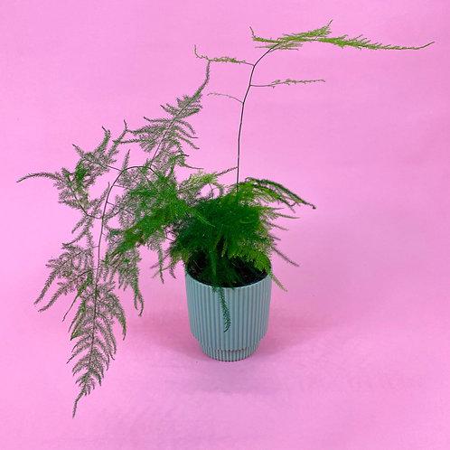Asparagus Fern & Miami Pot