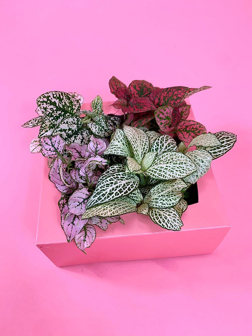 Fittonia & Hypostes Pack