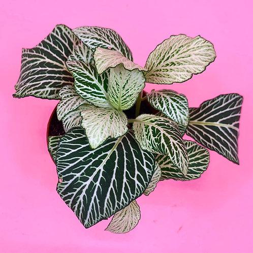 Green Fittonia