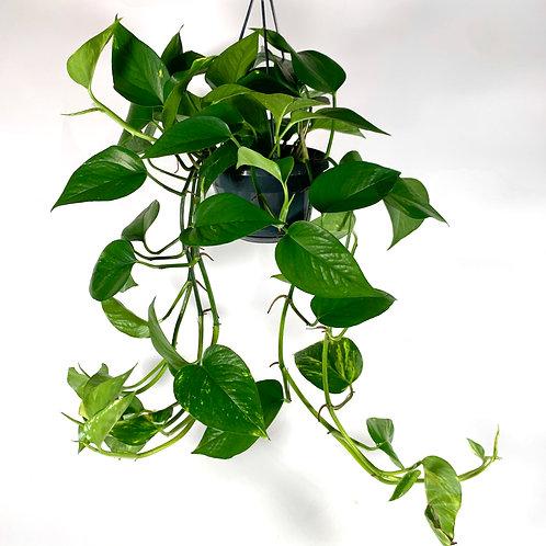 Hanging Devils Ivy