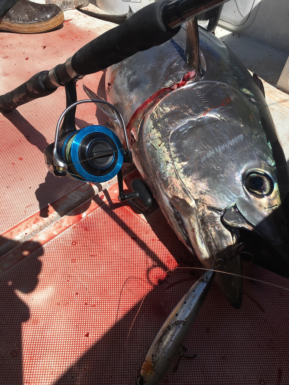 Adi's bluefin tuna caught with a Shimano spinning reel!