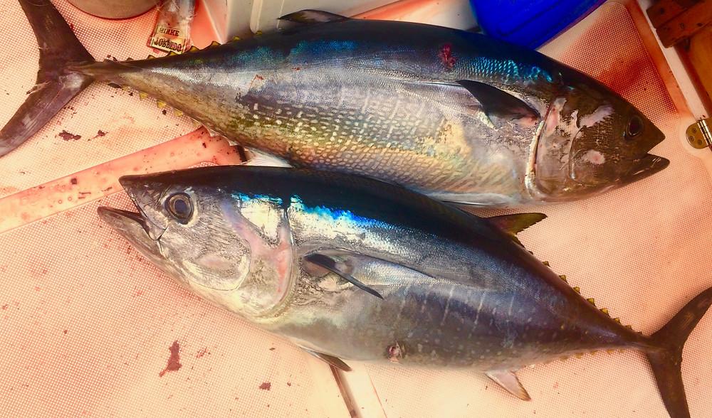 San Diego Bluefin Tuna