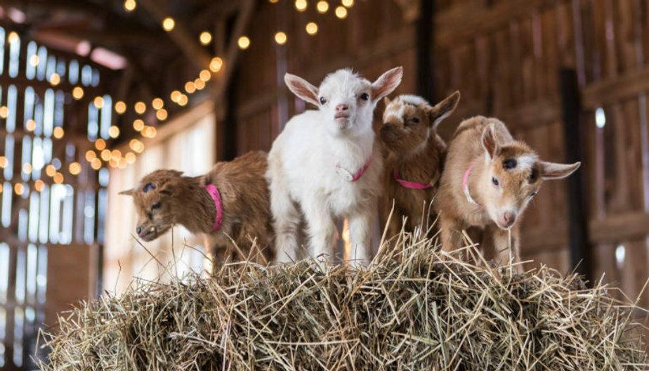 baby-goats-on-straw.jpg