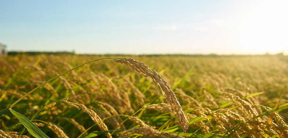 large-green-rice-field+.jpg