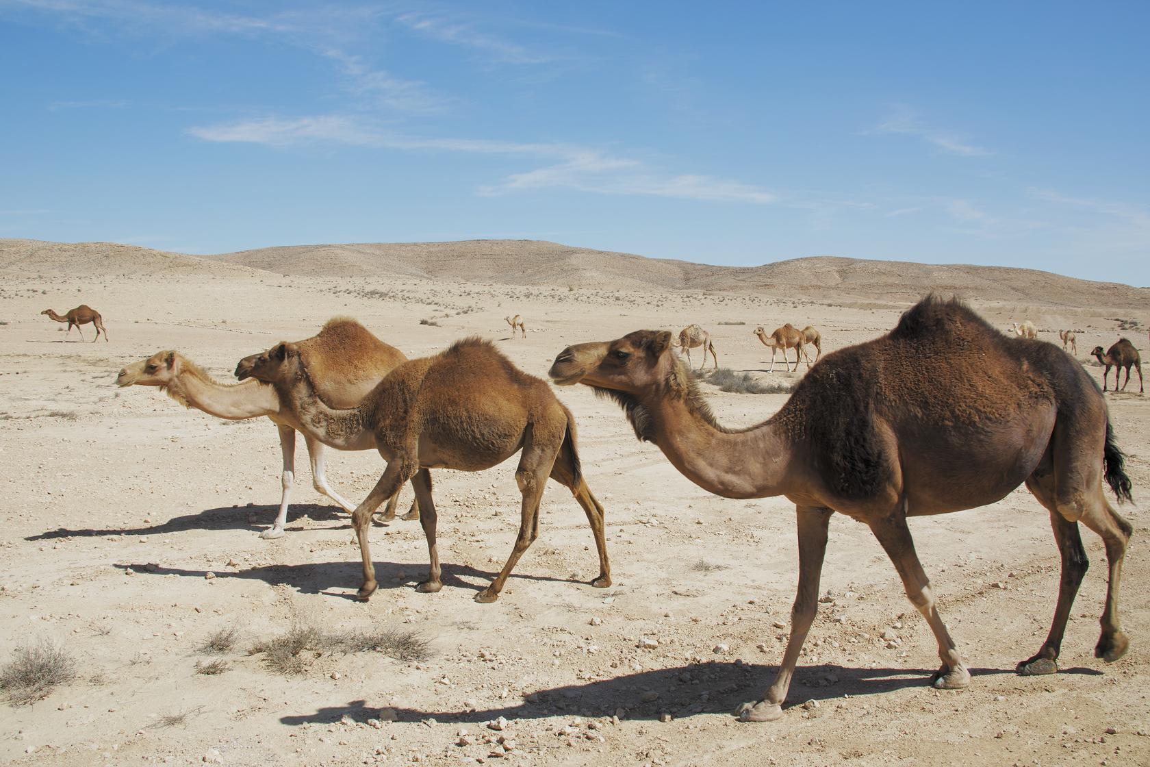 kamele-front
