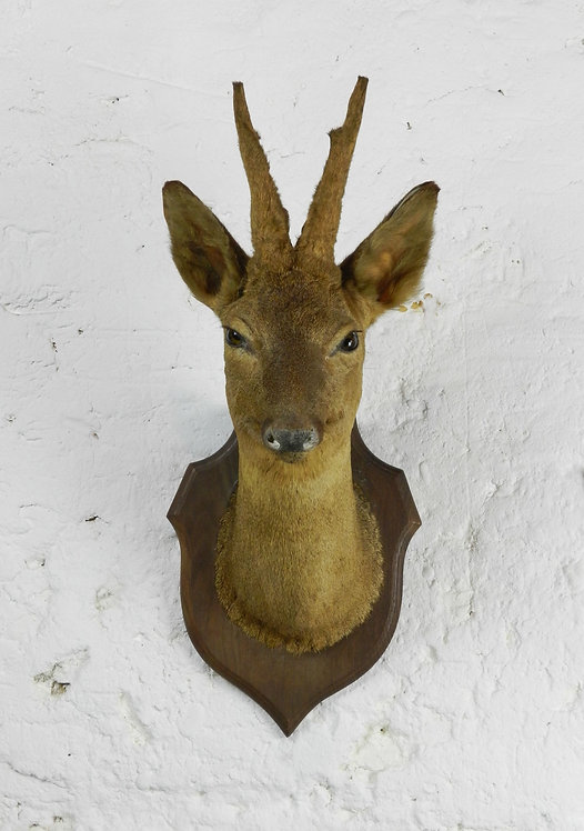 Handsome Antique Mounted Taxidermy Roe Buck Deer Head