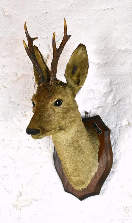 Mounted Taxidermy Roe Deer Head (3 Point Antlers)