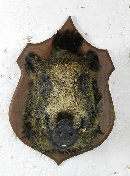 Large Taxidermy Wild Boar Head