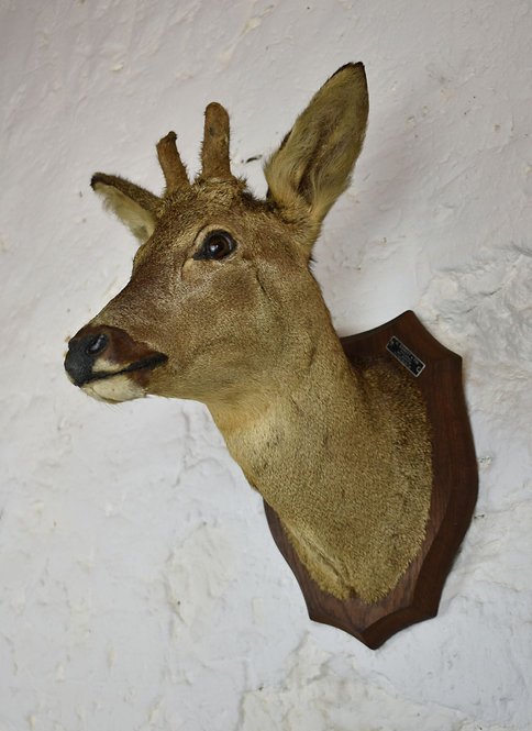 Mounted Taxidermy Roe Deer Head (with first year horns)