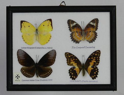 Mounted Butterfly Case from Malta