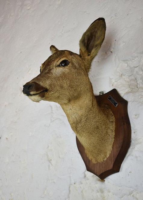 Mounted Taxidermy Roe Deer Head