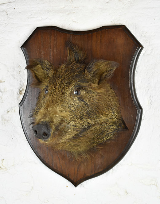 Mounted Taxidermy French Wild Boar Head
