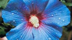 Bluebird Hardy Hibiscus