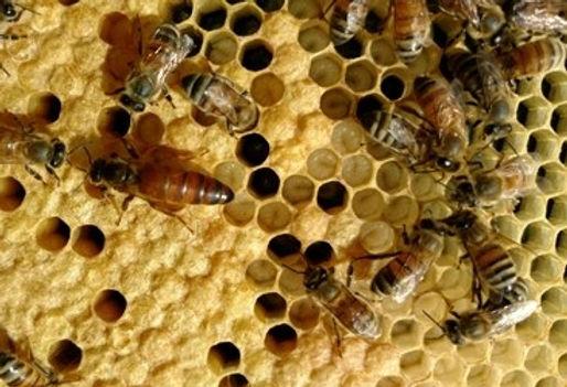 Queen bee, bee larva, worker bees