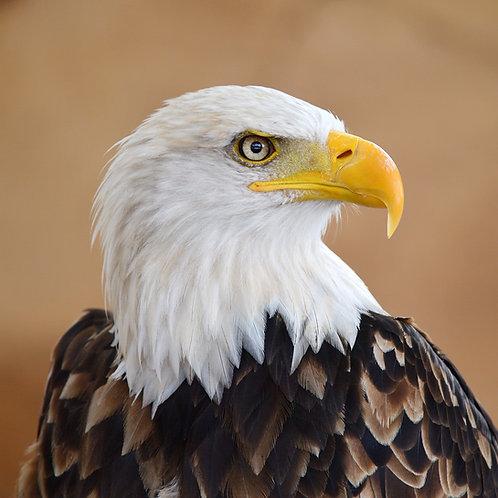 Case Study: Bald Eagles (Teacher & Student Edition)