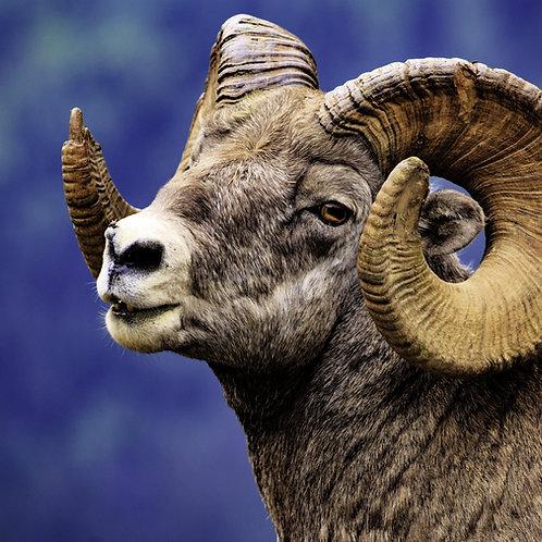 Case Study: Bighorn Sheep (Teacher & Student Edition)